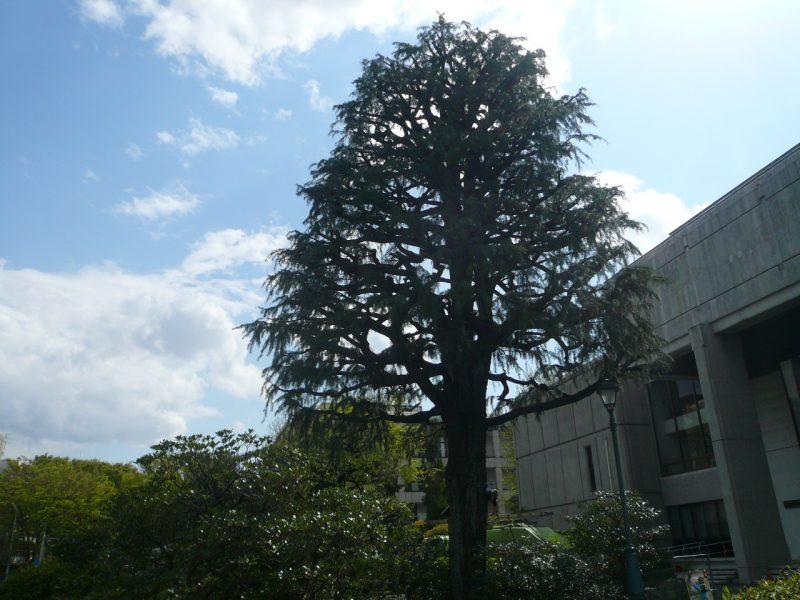 180407_04himarayasugi